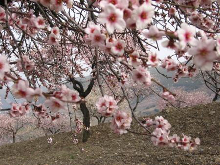Almond blossom Lecrin Valley Andalusia Spain