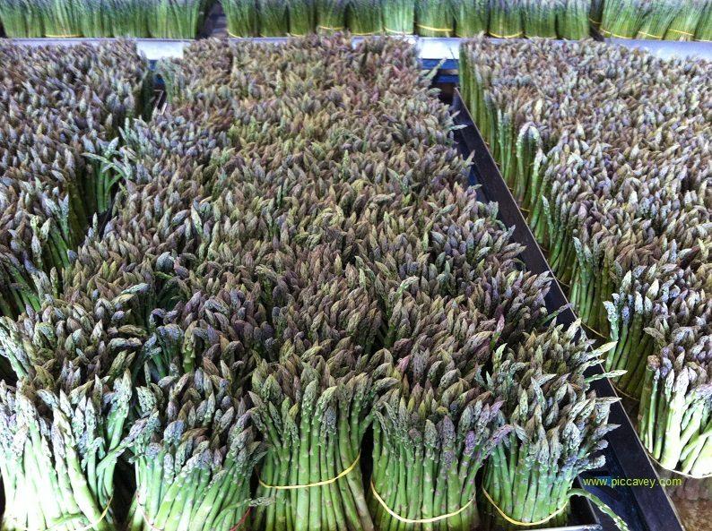 Asparagus Grown in Granada Poniente Granadino