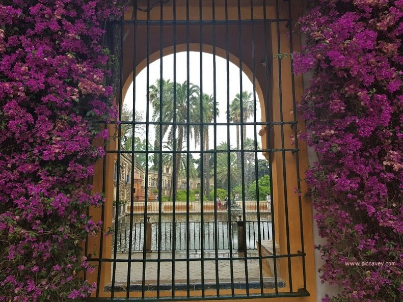Bouganvillea in Seville Alcazar July 2018