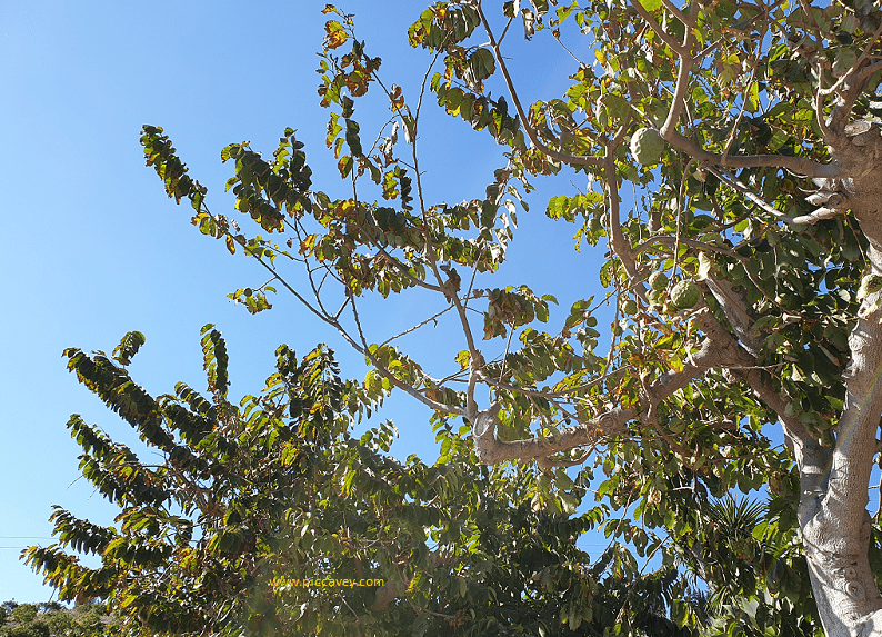 Cherimoya Tree in Andalucia Spain
