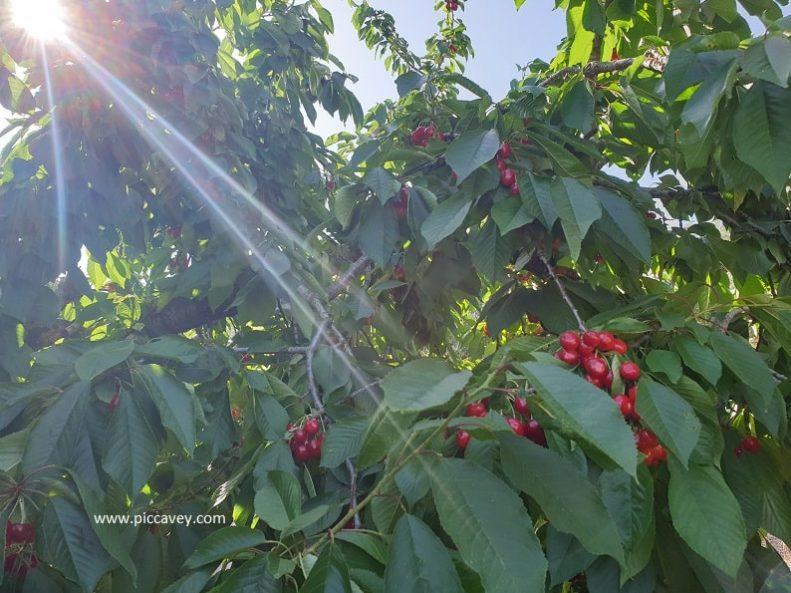 Cherries growing in Jaen