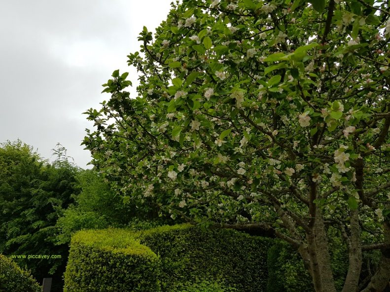 Cider Tree in Flower