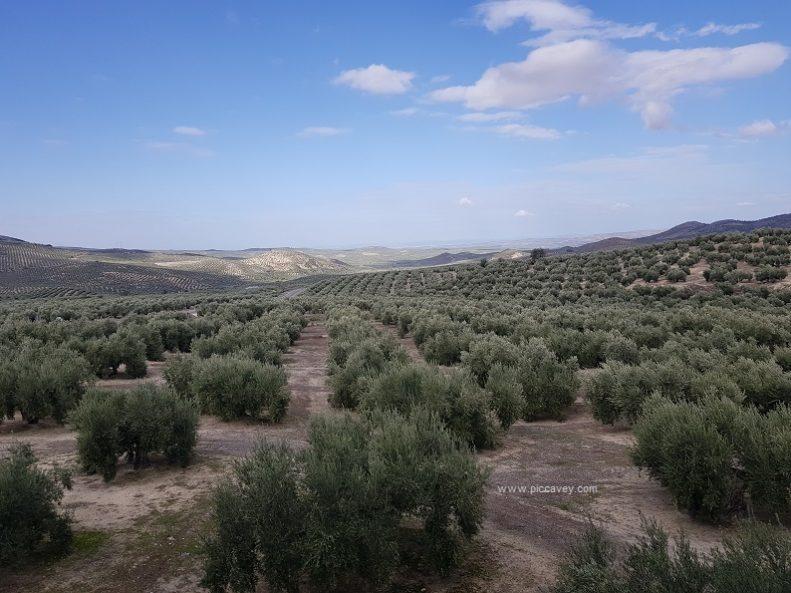 Field of Olives in Jaen Sierra Magina
