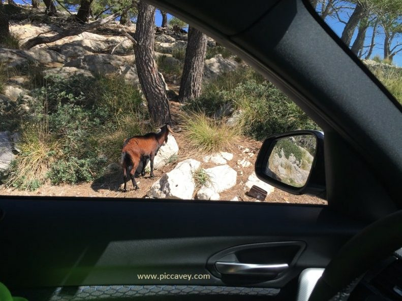 Goats seen from the Car Spain Travel