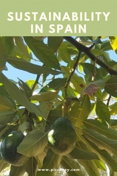 Avocadoes in Spain