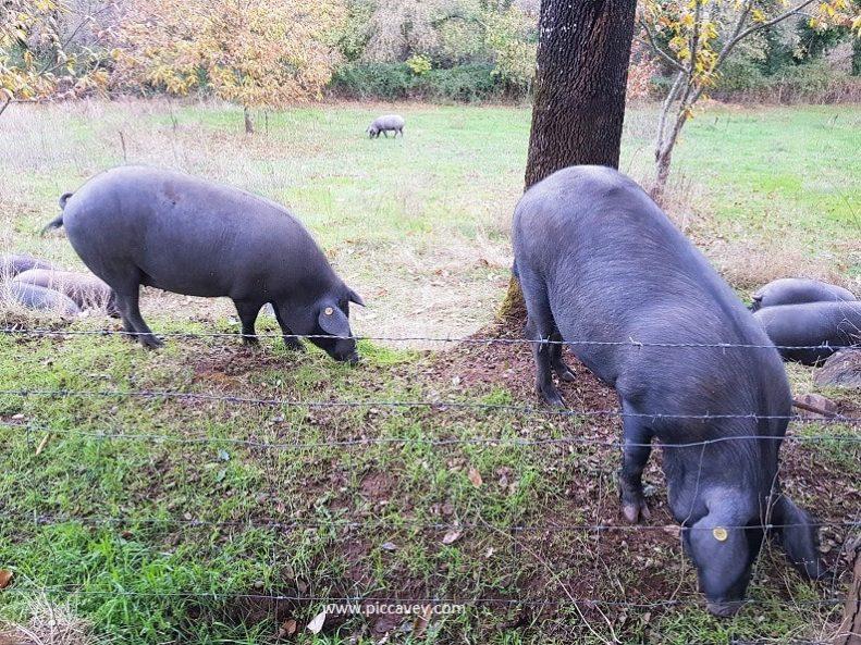 Iberian Pigs Spanish Ham in Andalucia