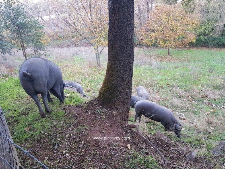 Iberian Pigs grazing in Jabugo-