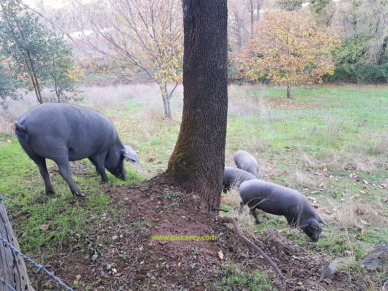 Iberian Pigs on Dehesa Huelva