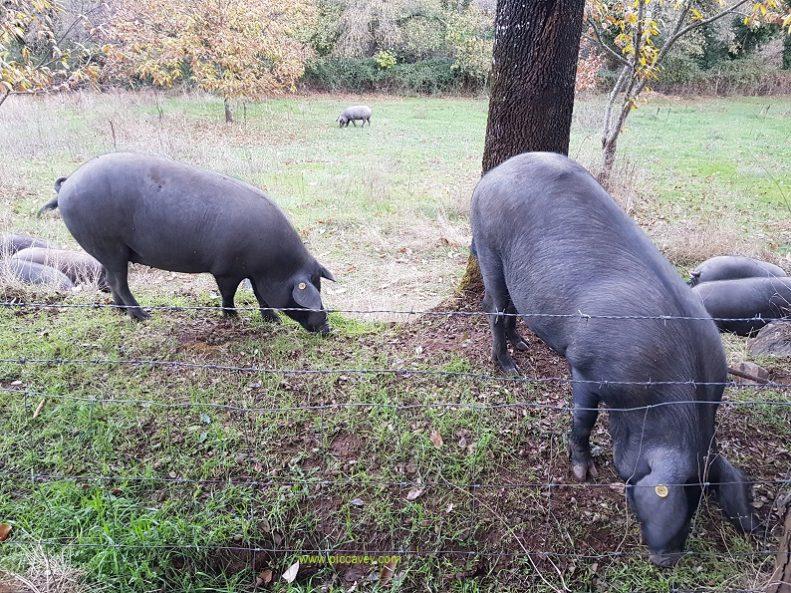 Jabugo Iberian pigs by piccavey.