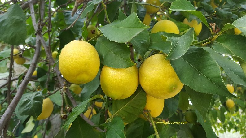 Lemons in Lecrin Valley Andalusia Spain blog