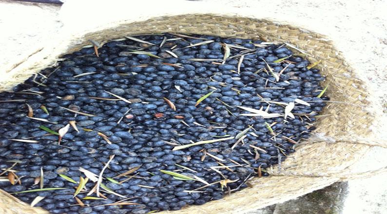 Olive picking Granada Spain