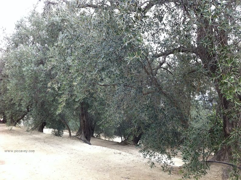 Olives on Trees in Granada Spain