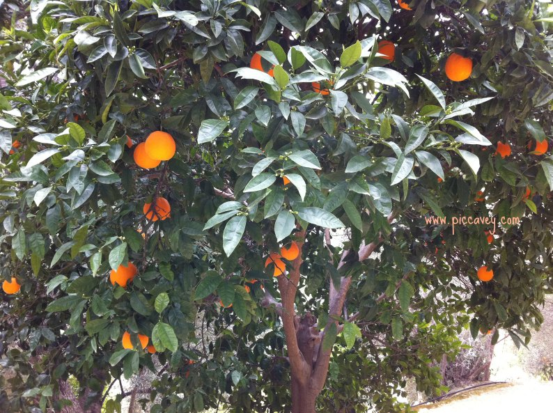 Orange tree in Spain