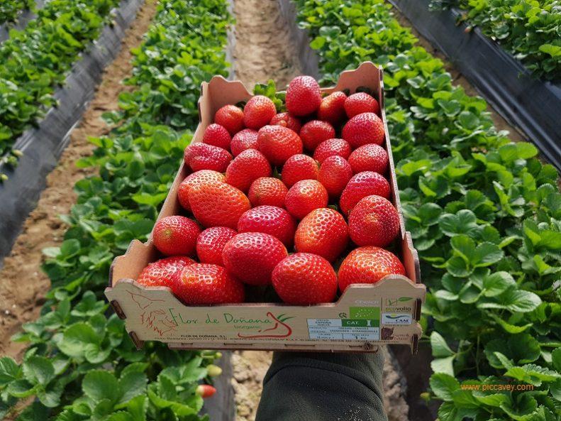 Organic Spanish Strawberries