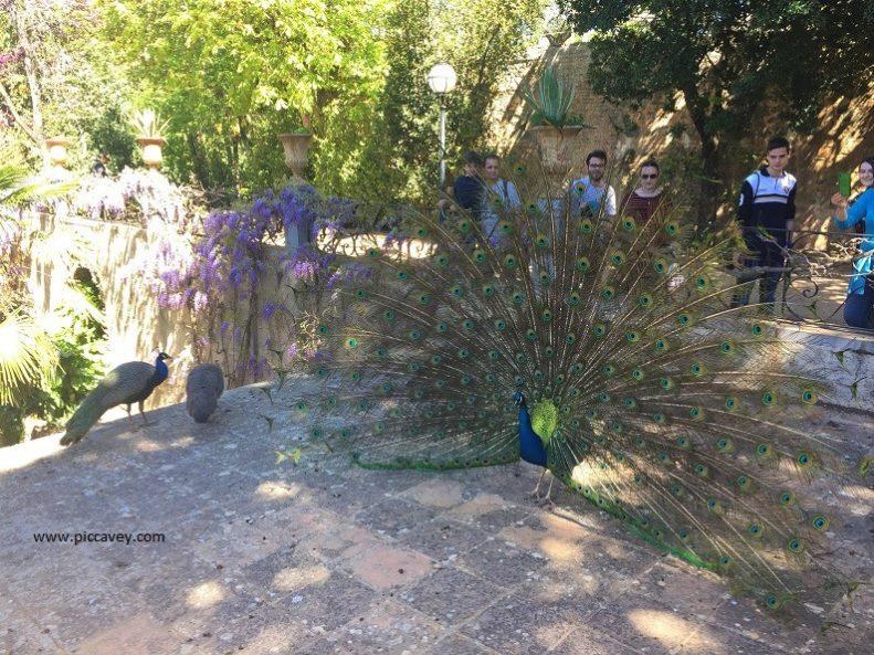 Peacocks at Carmen Martines Granada gardens