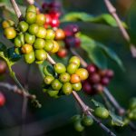 Spanish Coffee: The Most Northern Coffee Growers in the World